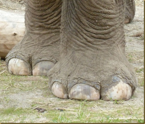 elephant toes