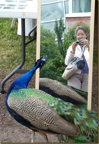peacockmirror
