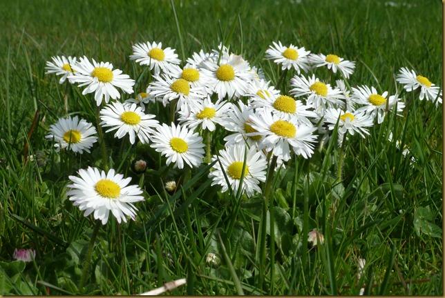 crop daisy
