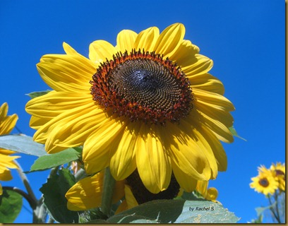 Rachel's sunflower
