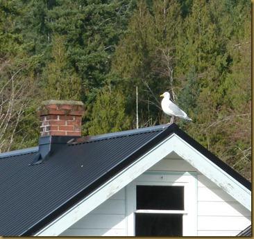 lone gull
