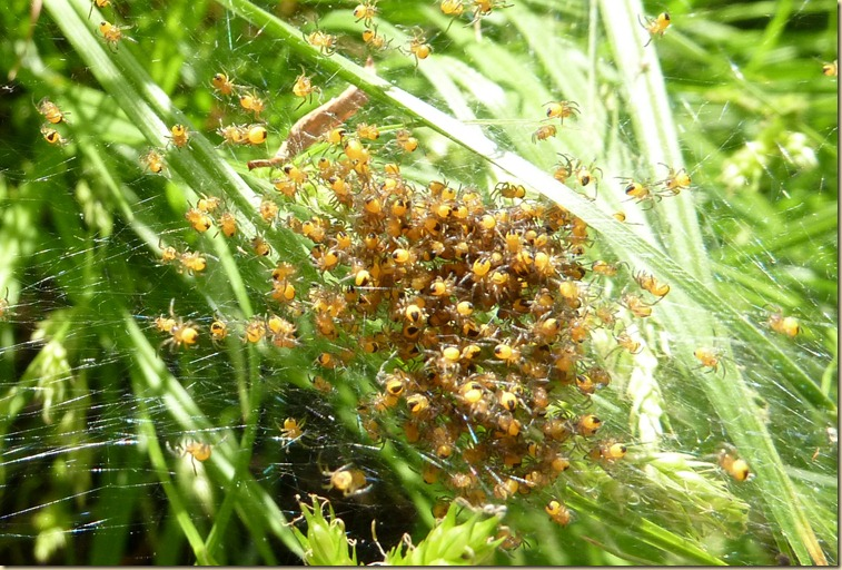 Baby spiders39