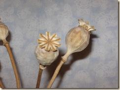 poppy pod