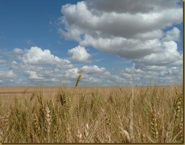 P1120372wheat