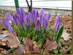 1Grandad's Crocuses