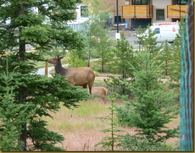 Elk Mama with baby