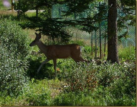 deer tiptoeing through yard